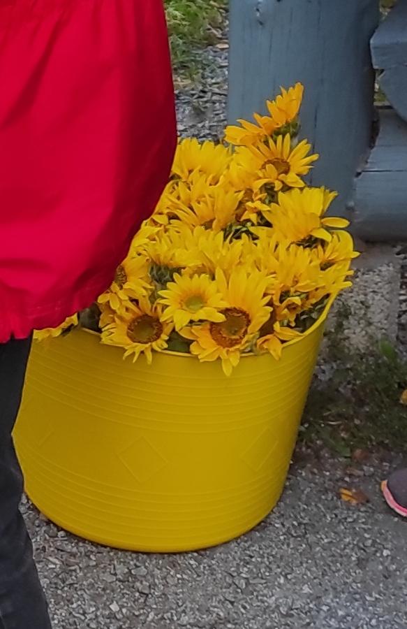 auringonkukkia ämpärissä