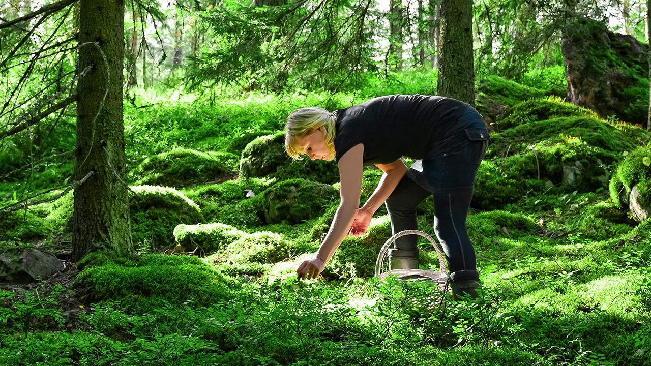 Nainen poimii sieniä metsässä.