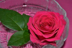 Punainen ruusu ja terälehden astiassa