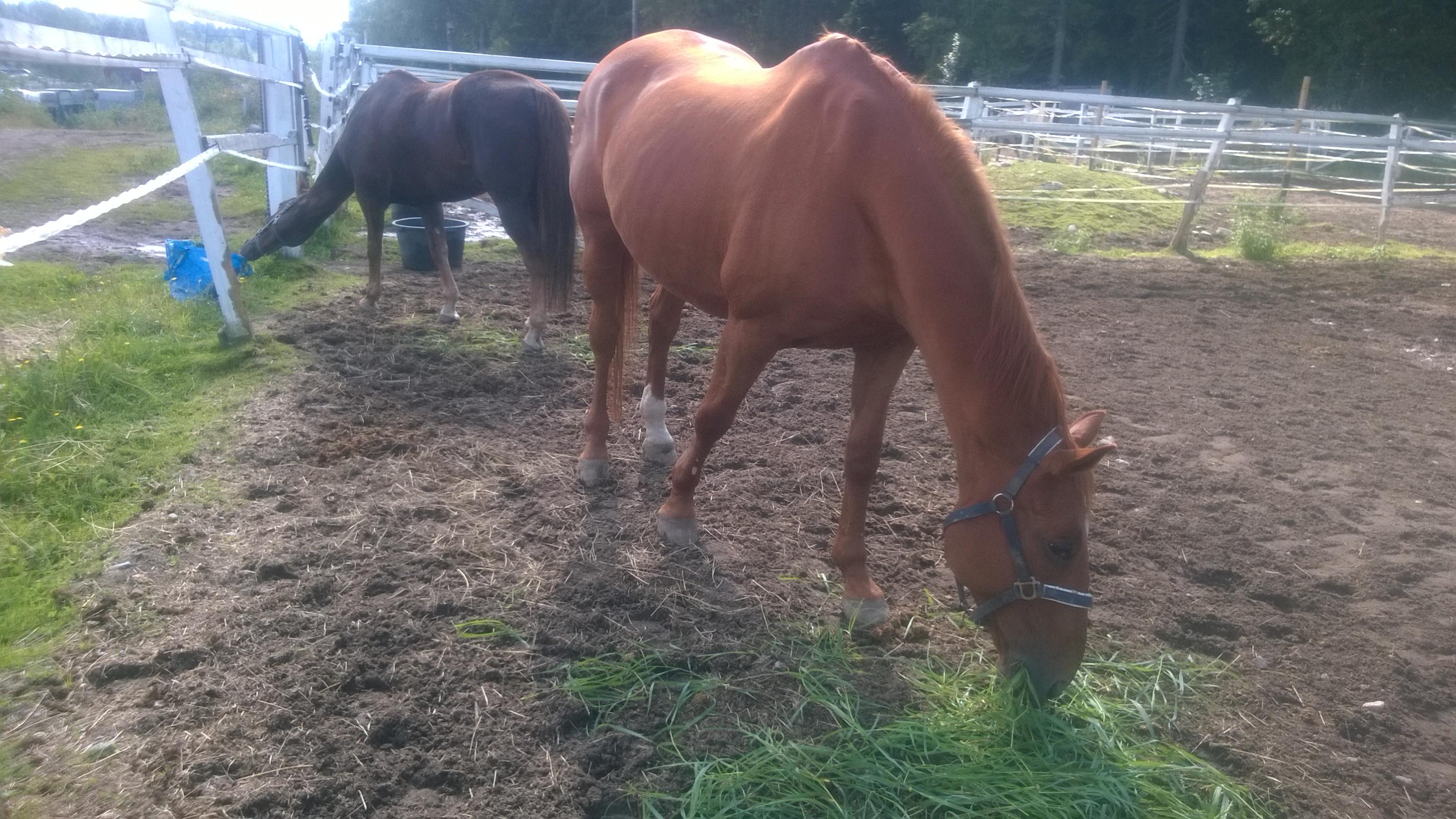 Kaksi hevosta, joiden nimet ovat Pallero ja Risto