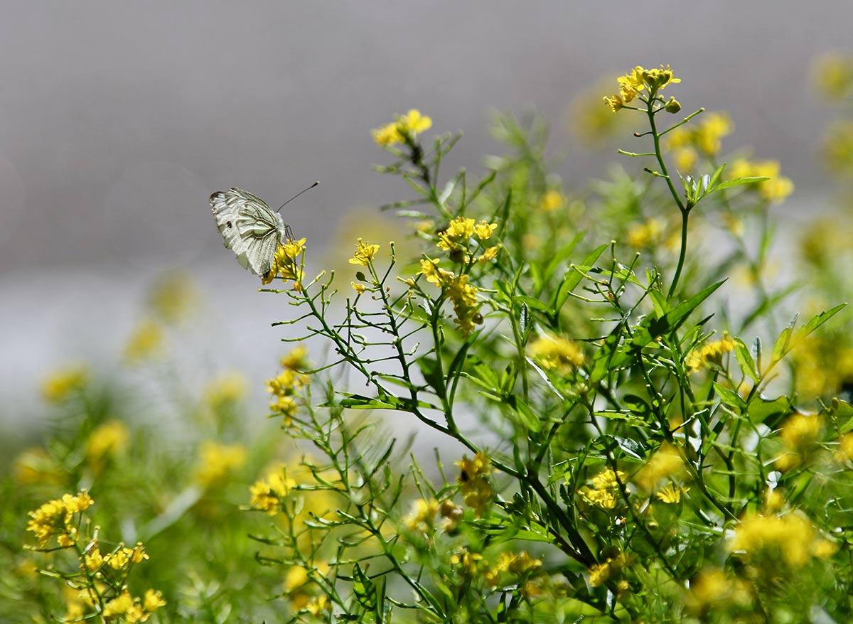 vaalea perhonen keltaisen kukan päällä