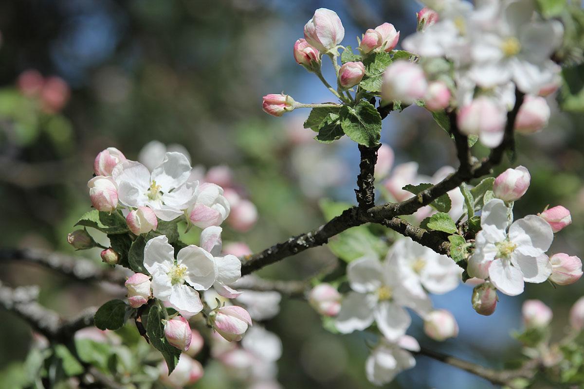 Omenapuu kukkii valkoisen ja vaaleanpunaisen sävyissä