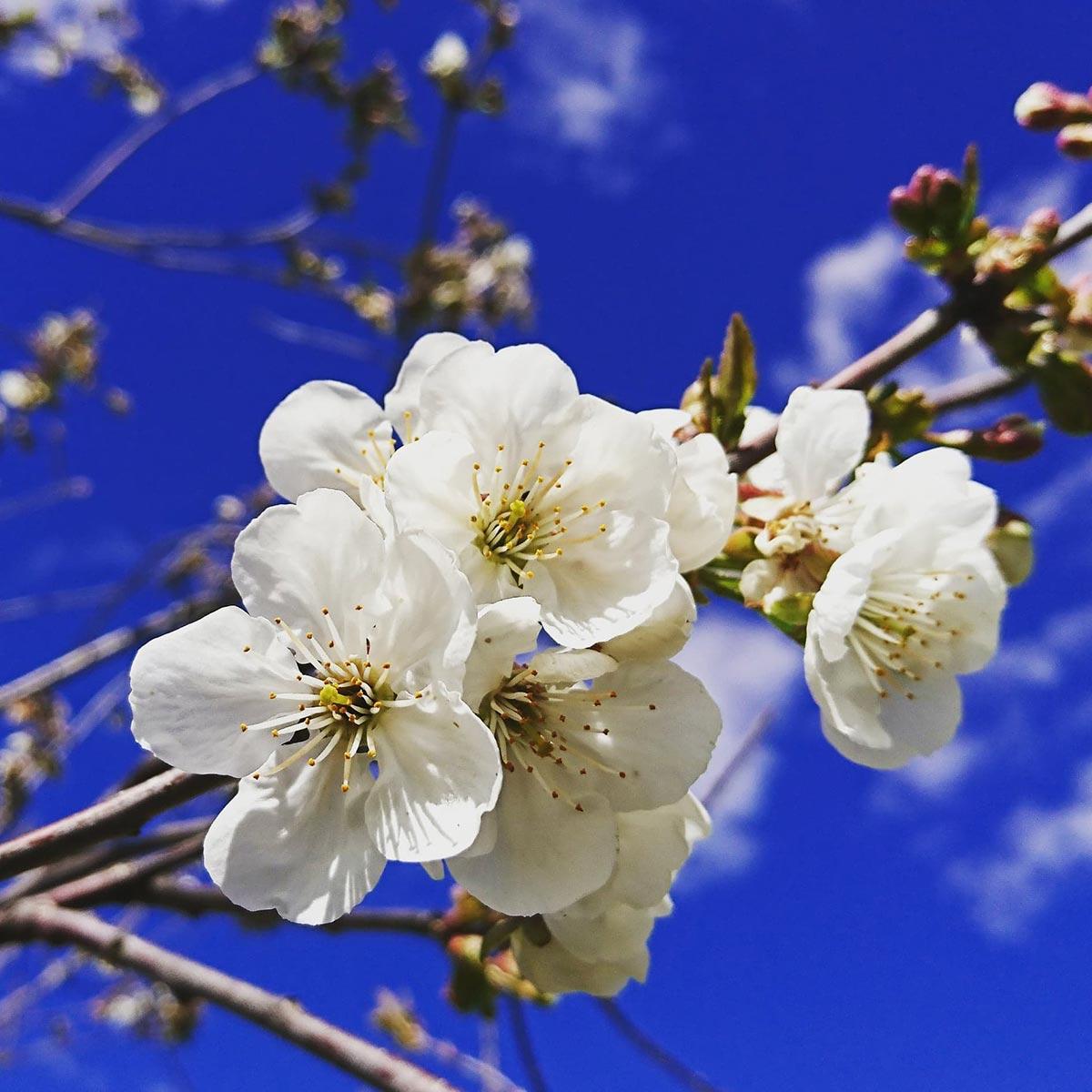 omenankukkia ja sininen taivas