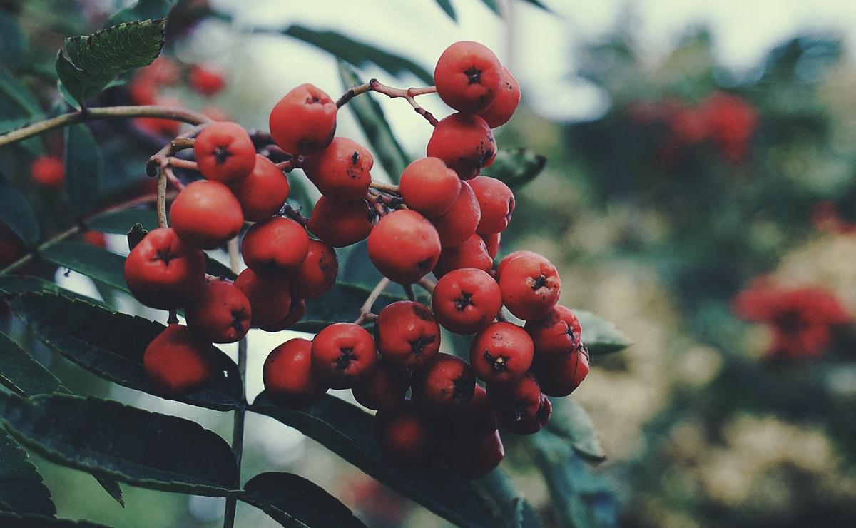 punaisia pihlajamarjoja syksyllä