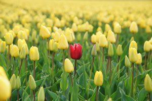 punaiset tulppaanit keltaisten joukossa