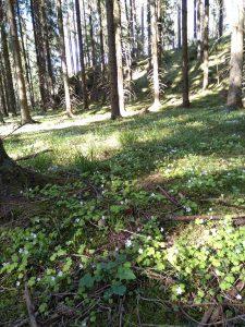 Metsässä kukkivat ketunleivät