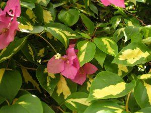Vaaleanpunaisia kukkia vihreiden lehtien seassa