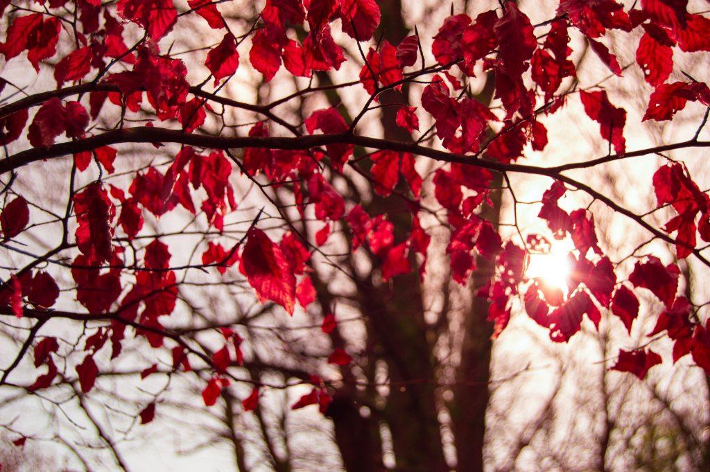 Puiden oksissa punaiset lehdet
