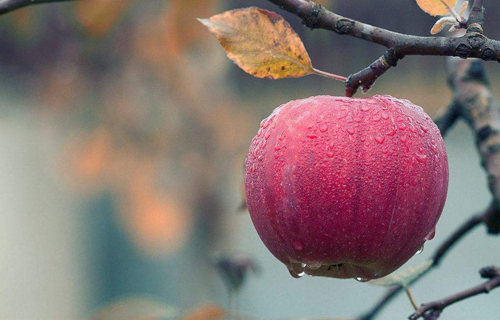 syksy punainen omena puussa