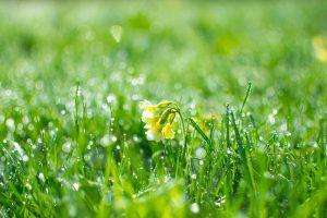 Kukka kasteisessa ruohossa