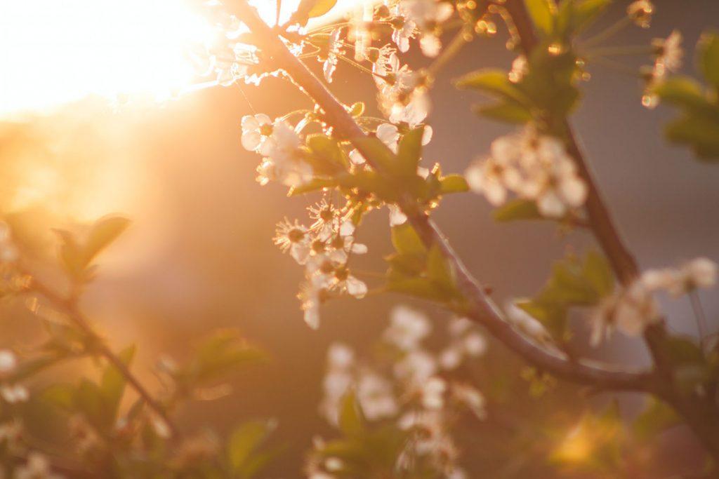 Ilta-aurinko osuu kukkaiseen oksaan