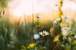 Kesäinen kukkaniitty ilta-auringossa, etualalla päivänkakkaroita ja heiniä