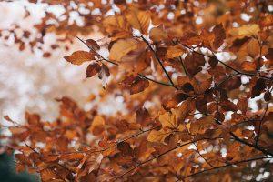 Syksyn värjäämät oranssit lehdet oksalla