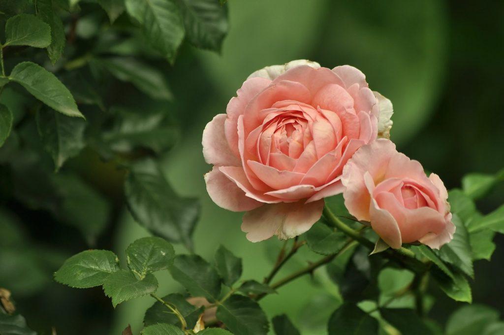 Ruusu kuvituskuva